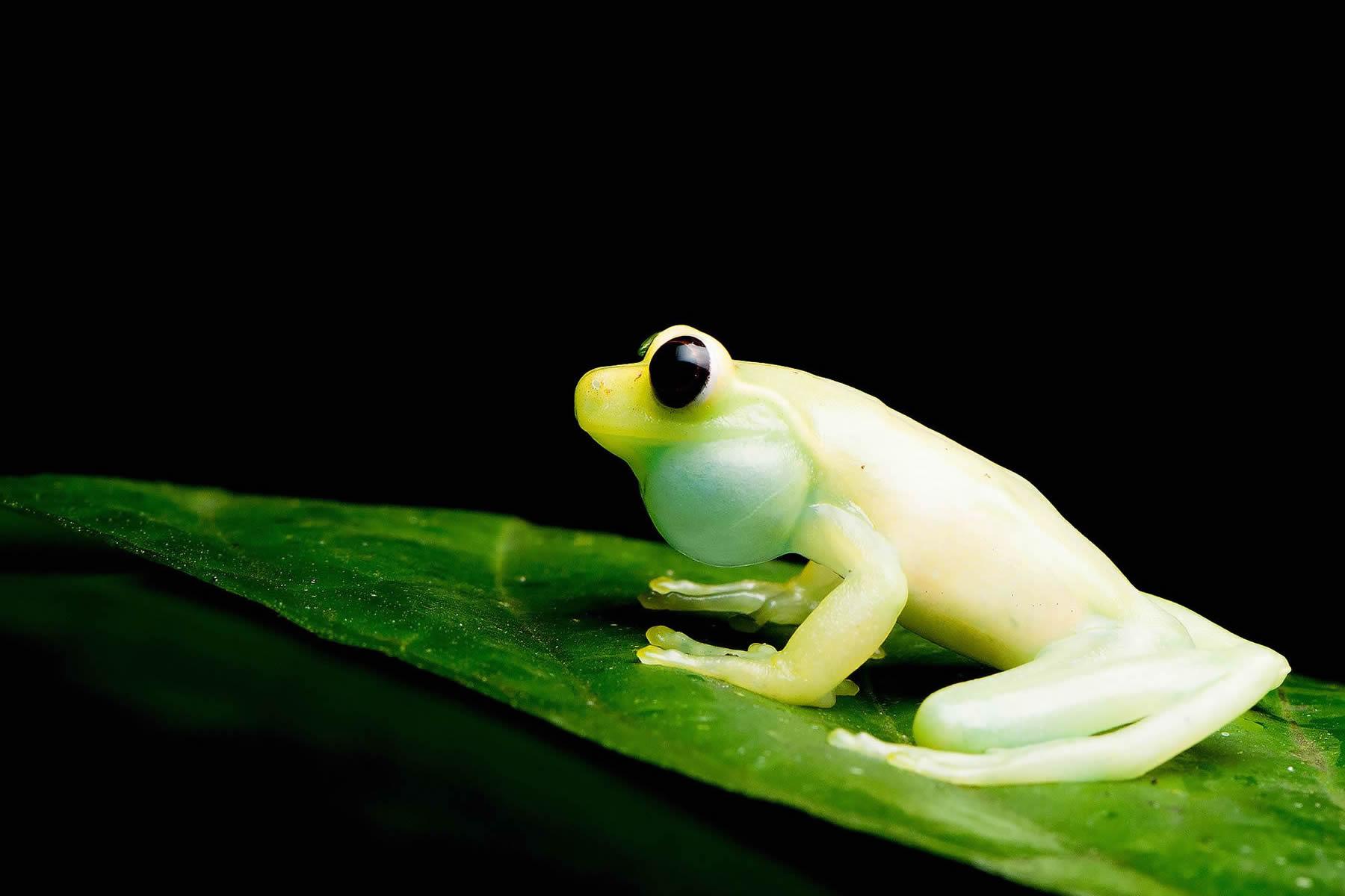 new-frog-torrenticola-de-mashpi